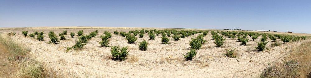 Las Miñañas vineyard (Segovia)