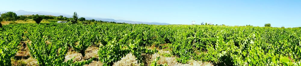 """Younger vines"" (100+ years old) 