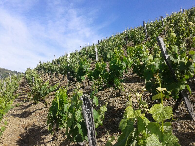 Anxelo vineyard