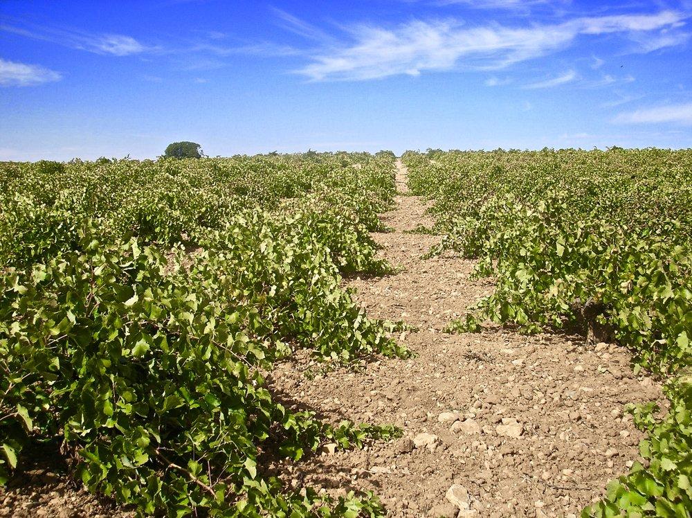 La Tarancona vineyard