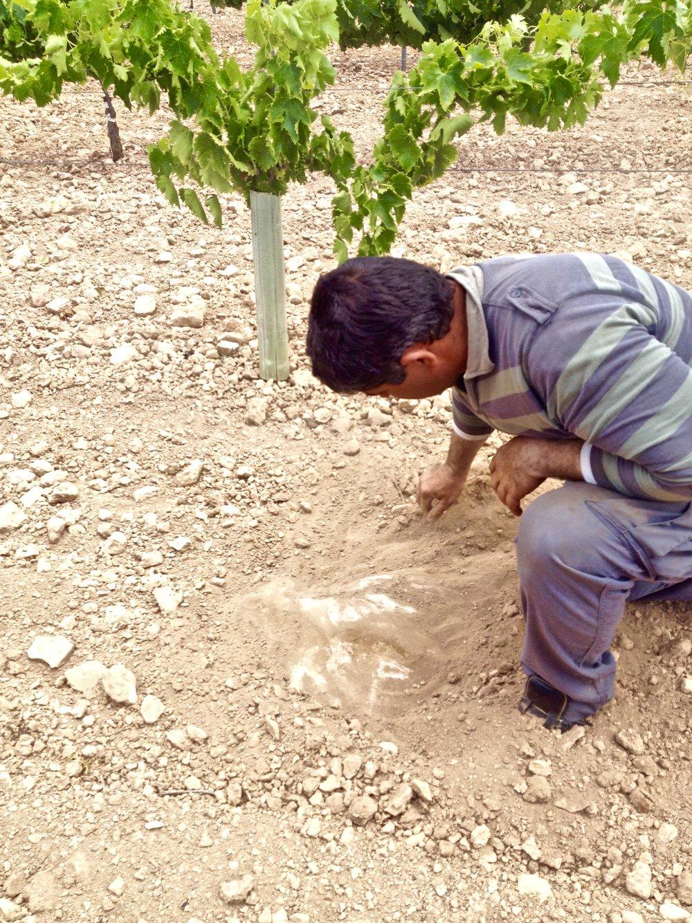 La Motilla vineyard. Exposed mother rock (limestone).