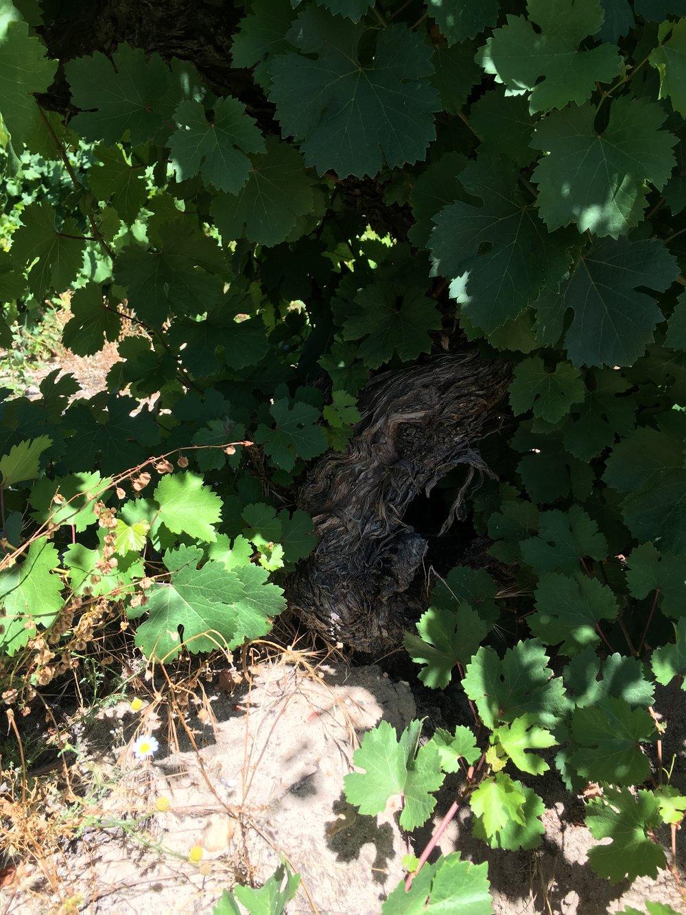 Century+ year old Verdejo vine