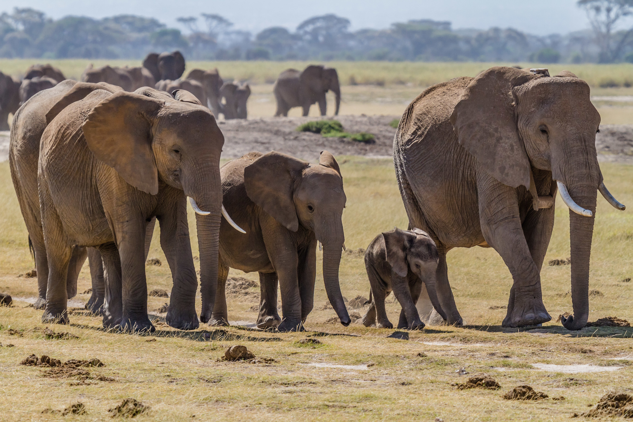 Herd of bush elephants, in Amboseli national park, south Kenya.