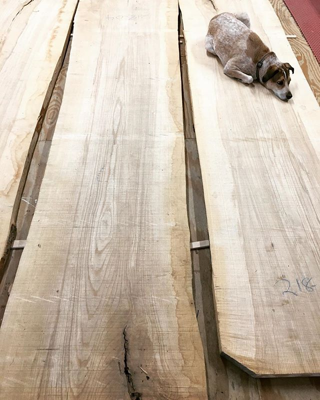 Anyone need to borrow our slab flattener? Wilbert is always happy to help out. . . . #teacupwilbert #shopdog #ash #makersgonnamake #makersmovement #slabs #furnituredesign #furniture #design #process
