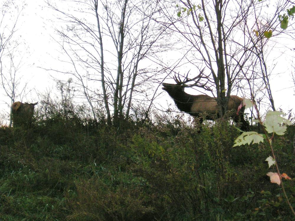 Elk 1.png