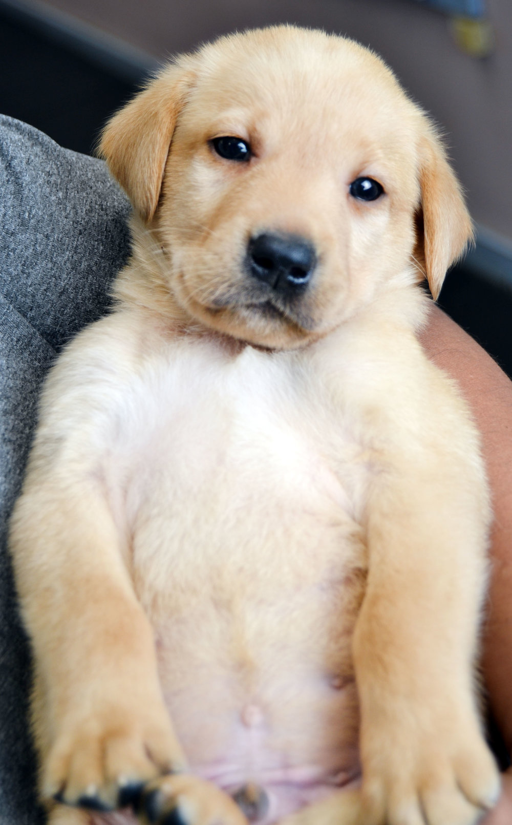 Charm Yellow Lab Pup Edited.jpg