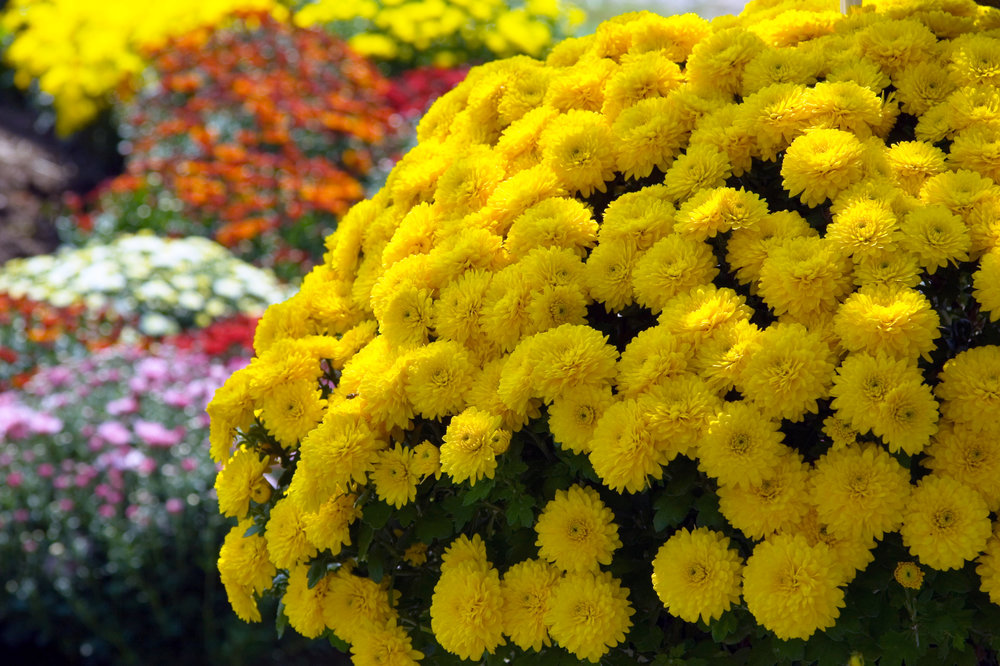Fall planting in CT mums, bulbs