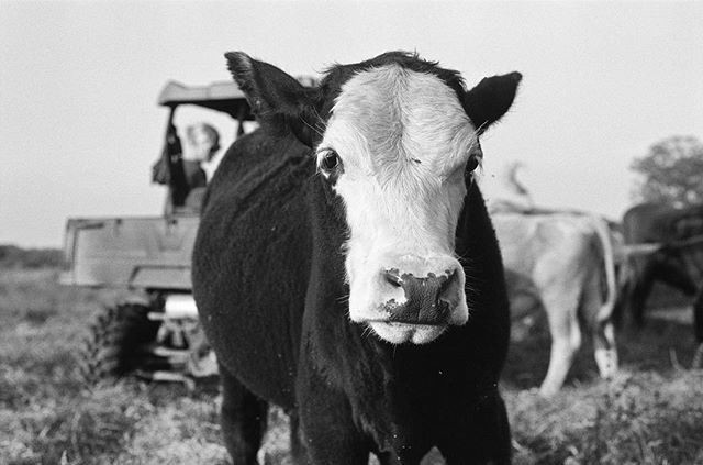 Wallace the cow #cowportrait #35mm #filmphotography #blackandwhite #texas . . . . . . . #filmisnotdead #staybrokeshootfilm #blackandwhitephotography #analog #lomography #kodak #film #photography #vsco #vscocam #cow #tbt #ilford