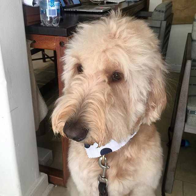 Our shop mascot is hanging out in the shop today being extra cute. Stop by and say hello to Dude. We promise he will try and lick you to death. . . . #goldendoodle #doodlesofinstagram #ilovepuppies #puppylove #goldendoodlesofinstagram #shopdog #doglife #matterandbonemascot #dudethedog #puppies #dudethedoodle