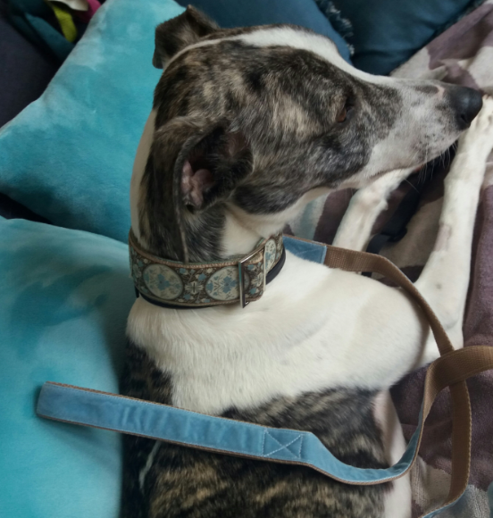 Orient dog collar and lead.png