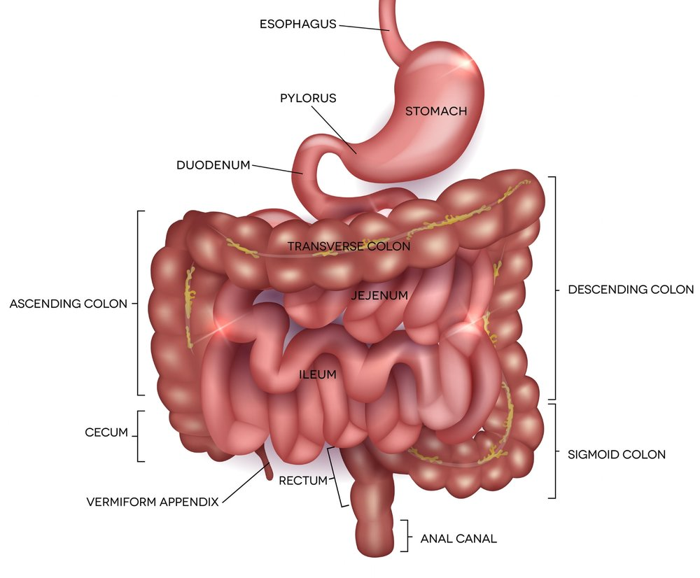 The lower portion of the gastrointestinal (GI) tract
