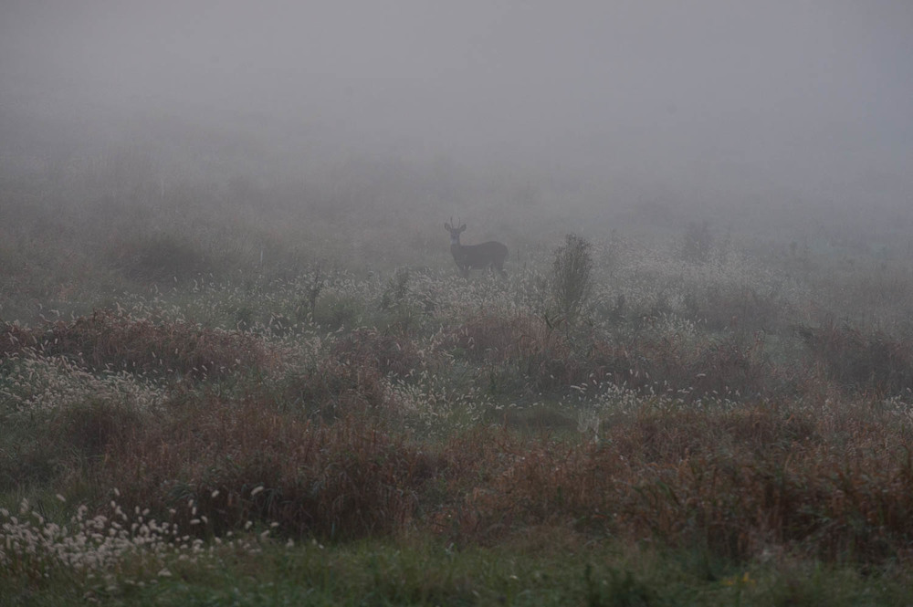 Deer in the morning fog