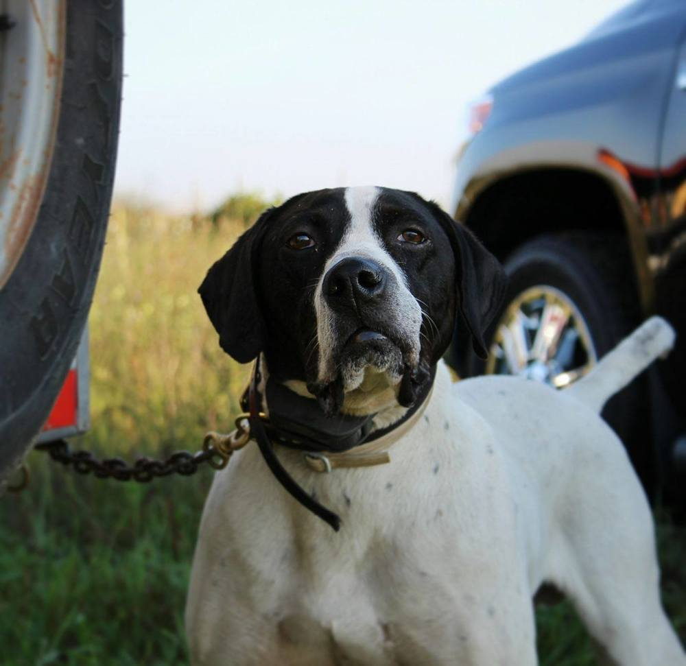 Stoney Brook's Autumn Madness   Sam is our eight year old bird finding expert and has a great work ethic. He excels in both the prairie and the woods. He is one of our go to dogs for not messing around and finding birds.
