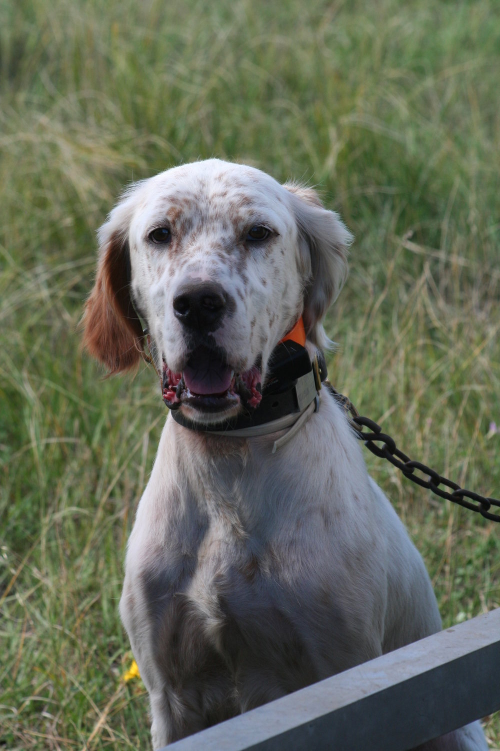 Stoney Brook's Apple Jack    Cider is a Ryman-type English Setter. He is entering his third hunting season and is really doing well in the field. He has been easy to train and is a great house dog. Cider is our sweetheart, he has yet to meet anyone he doesn't like. We are looking forward to his future and the things he has yet to reveal to us.
