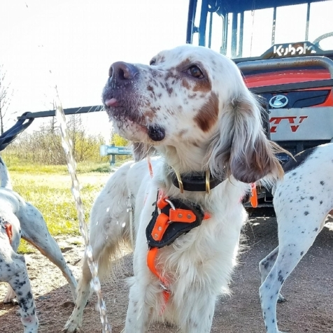 Merle   Merle is a 4 year old English Setter. He came to us a year ago as a dog that needed a job. He has taken to hunting very quickly and is a very nice dog. He is very slim and can move quickly. He excels in both the prairie and the woods.