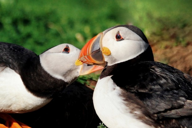 Puffin-pair-colour-Annette-Fayet-623-1a4ed36.jpg