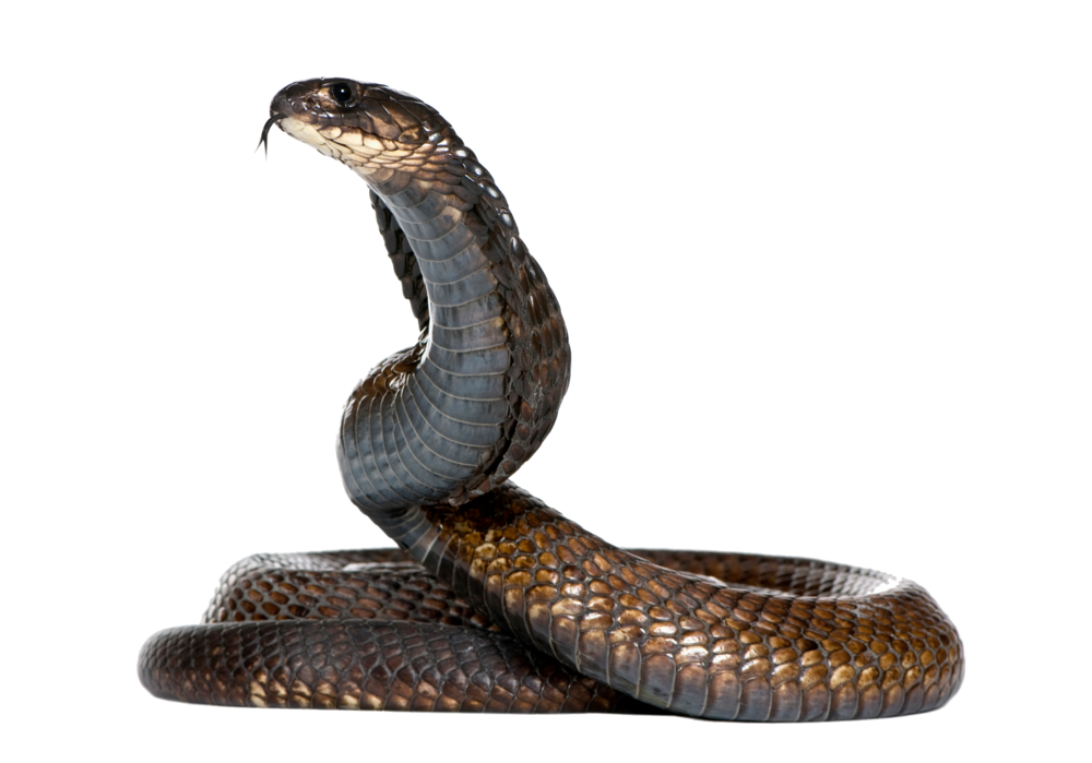 snake_PNG4072.png
