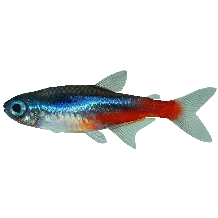 NeonTetra.png