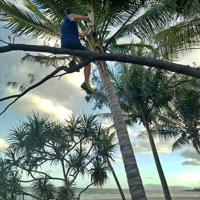 Raiding coconut trees, macguyver style! @druediger on the empty beaches of #capetribulation