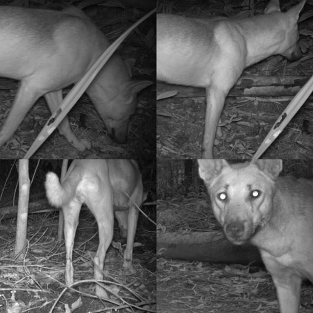 Some beautiful wild #dingos caught on #reconyxtrailcams in #capetribulation Dingos have existed for  thousands of years and in #capetrib we may even have some highly pure bloodlines like #fraserisland, due to our remote location.