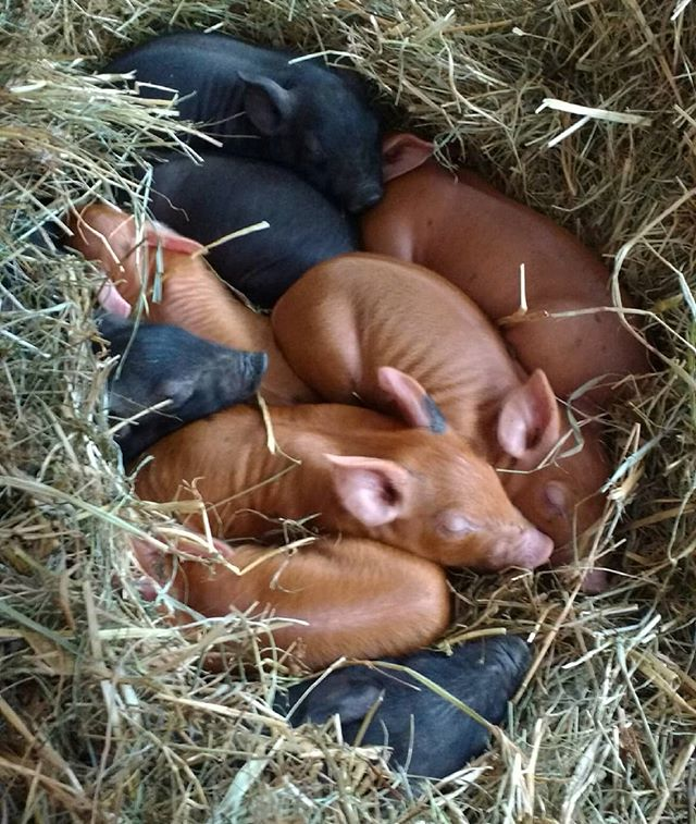 Winter brood #haynest #heritagepiglets #mamamay #itscoldout