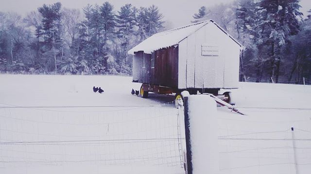 A few brave hens wandered out of their coop this morning to visit the nest boxes underneath. #snowscene #noreaster #stillwinter #barredrocks #eggseason #pastureraised #heritagehens #earlyrisers #morningcommute
