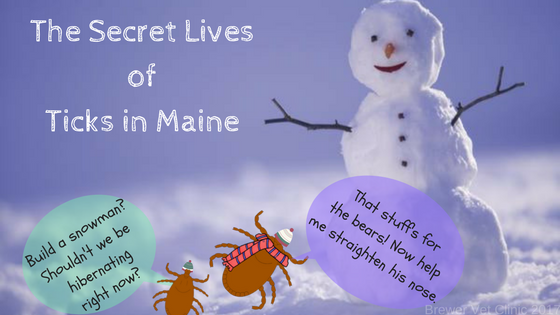 A live look into the snowy lives of Maine ticks.