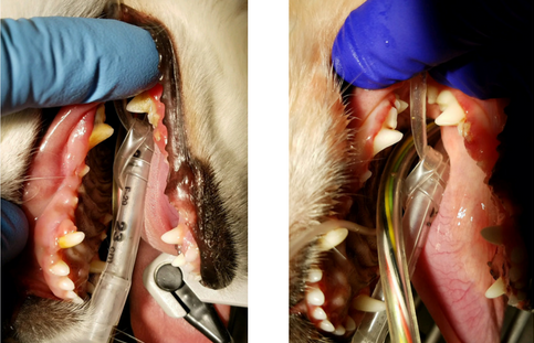 Small canine patient, before and after dental cleaning under sedation.