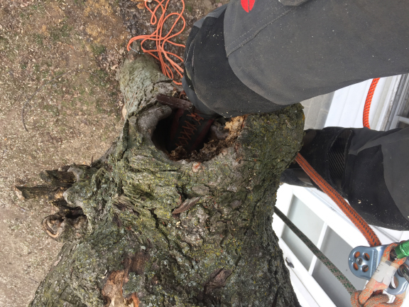This Maple had multiple cavities from poor pruning maintenance.