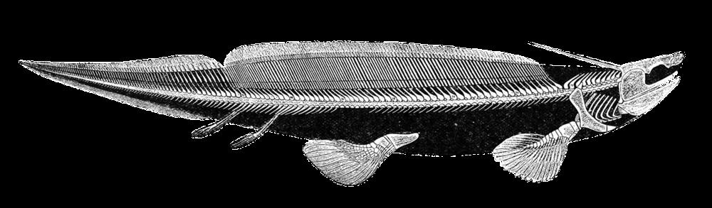 Carboniferous Sharks