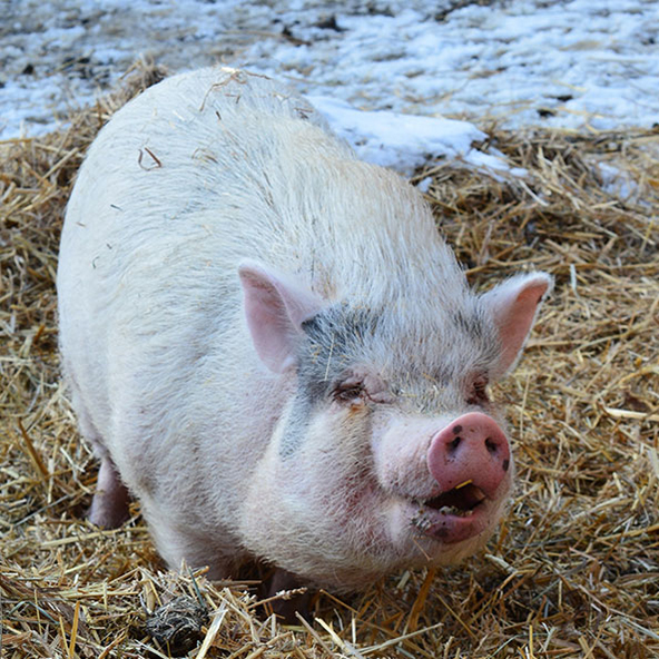 OPHELIA Ophelia came to us from the OSPCA in February 2014. She is a pot-bellied pig, born in 2011. What none of us knew when she arrived was that she was pregnant. We started calling her The Floozy after that. (Yes, I know, pig-shaming!) She gave birth to seven adorable piglets on April 20, 2014... Easter Sunday. Sadly, despite our vet's best efforts, the little runt we named Wilbur succumbed to pneumonia a couple of week later. But the other six are thriving. Ophelia was an excellent mother to them, and they grew hugely fat on her milk.