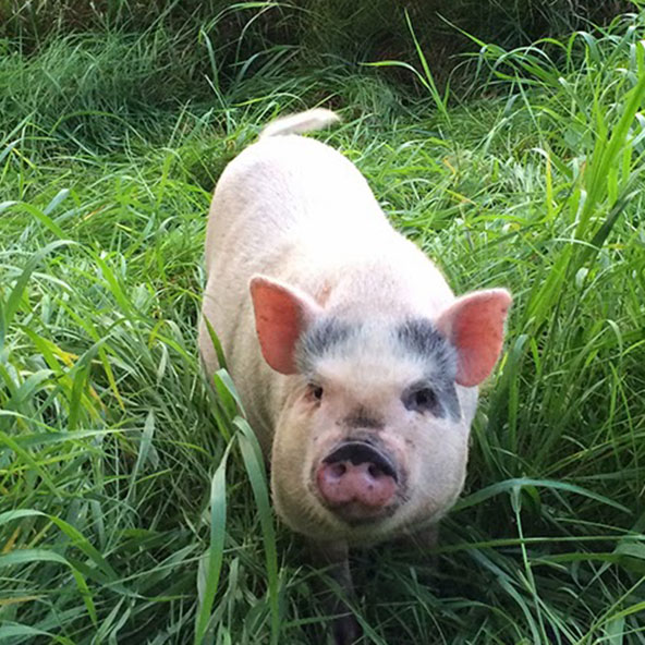 BUTTON   Daughter of Ophelia. Hell on wheels, er, trotters. Likes to escape into the garden, especially when it's muddy, resulting in humans flying through the air and landing face-first in the dirt. Has also made the farm vet do a faceplant in the pig pen. Notorious.