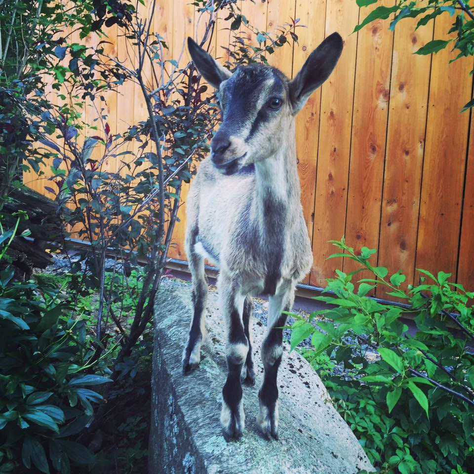 BERT In July 2016, we adopted Bert the Alpine goat kid from the Société protectrice des animaux de l'Éstrie in Sherbooke, Quebec (along with Patrick the pot-bellied pig.) Bert and his buddy Ernie had a horrible start to life. When Bert was a week old and Ernie a day old, they were literally dumped on the shelter's doorstep in terrible condition. The shelter's awesome vet took them home and nursed them back to health. They were also able to suckle off the vet's lactating goat. We were going to adopt both kids, but sadly little Ernie died unexpectedly a few days before we were to get him. But Bert is one tough little dude and is doing great here at the farm! He follows us everywhere and is strong, smart, and fearless. He has an adorable personality. Bert was born sometime in May 2016, and has fit in well with our existing herd of rescue goats! He is an excellent climber and we sincerely hope he won't start vaulting over the fences anytime soon.