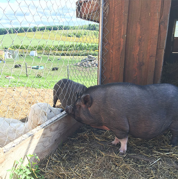 GRACIE  On September 2, 2016, we adopted Gracie the pot-bellied pig from the SD&G OSPCA.  Gracie was born in 2010. She was surrendered to the OSPCA. She apparently spent some time living in a house, then was banished outside to a filthy, junk-filled pen.  She had been living on Ol' Roy dog food, Triscuit crackers, and reconstituted pea-soup mix when we got her. We are hoping that she won't suffer long-term health effects from this completely inadequate diet. Fortunately, she polished off her first bowl of pot-bellied pig food in no time.  Gracie was very overweight when she arrived, which can lead to blindness in pot-bellied pigs, and is also very hard on their joints. Her weight on arrival was an estimated 275 - 300 pounds, and to move her from the OSPCA truck to her pen (in a crate), we had to use our tractor with a pallet and forks. Fortunately Gracie has now slimmed down to a perfect size, and is currently the most athletic of any of our pigs! It is a joy to see her run around the pasture without getting out of breath after a few steps.  Gracie is a prime example of how animals can suffer when people obtain pet pigs without doing thorough research into their needs. Gracie is living a happy piggy life here, with  appropriate food, four acres of pasture, and lots of rooting around and rolling in mud baths.