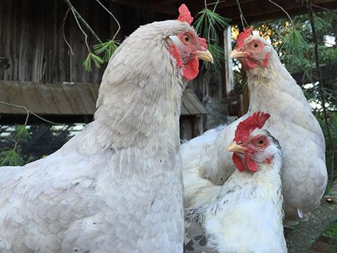 OSPCA-Chickens.jpg