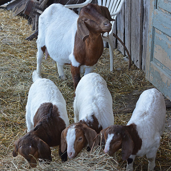 "PENELOPE aka PENNY (with her triplets Annabelle, Luc and Rosie)  This goat was truly a star, and we miss her every day. She and her five goat buddies were seized from what someone described to me as a ""hellhole,"" and Penny was definitely in the worst physical shape of all the goats (underweight and worm-infested.)   On top of that, Penny was pregnant with triplets when she arrived, and after she gave birth in January, she became quite ill with diarrhea and anemia. But she was a real fighter, and bounced back to raise three of the most adorable goat kids you can imagine. They were partially bottle-fed because Penny didn't have enough milk to sustain them. We kept a close eye on Penny, who had a peaceful, gentle nature, and weathered her misfortunes with caprine grace. She was named after our wonderful human friend Penny.  Sadly, Penny was in poor health through most of 2017, and on August 29th, we made the decision to euthanize her to spare her further suffering. She was a goat to remember!"