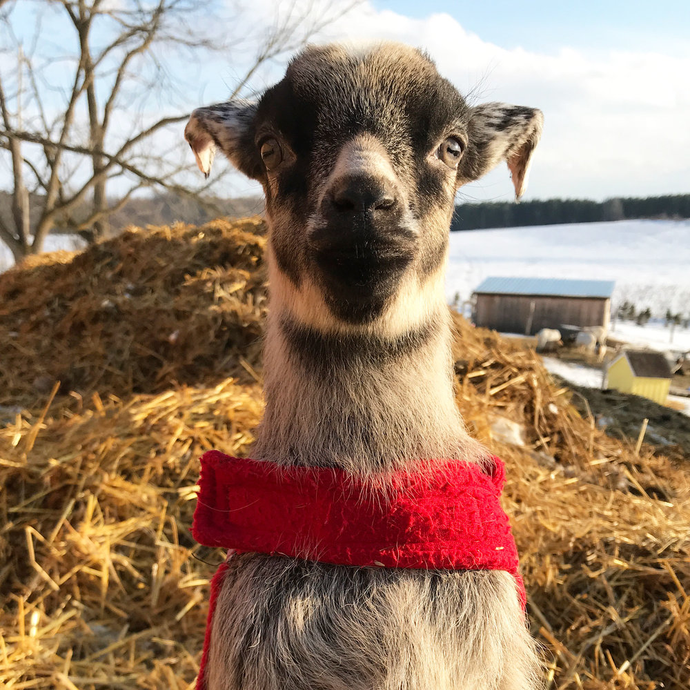 ANNA  Anna and her sister Elsa came along as excess baggage in Olive's tummy when we adopted three goats from Rimouski in December, 2017. ON January 5, 2018, Anna and her sister Elsa surprised us by arriving a couple of months earlier than the vet had predicted. Because they were born in the frigid cold, the two kids take their names from the characters in the movie  Frozen . We have no idea who her daddy is. Anna is growing a nice little set of horns, unlike her sister Elsa who was born without horns.
