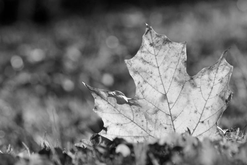 FALLEN LEAF - PHOTO