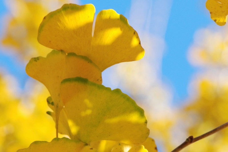 GOLDEN GINGKOES II - PHOTO