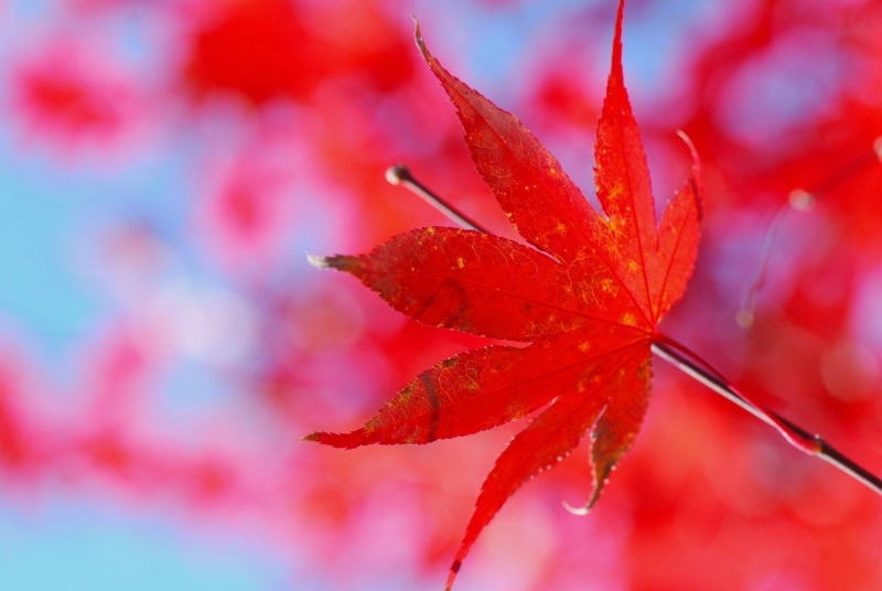 JAPANESE MAPLE - PHOTO