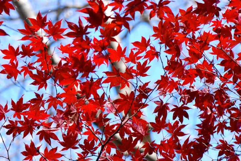RED LEAF EXPLOSION - PHOTO