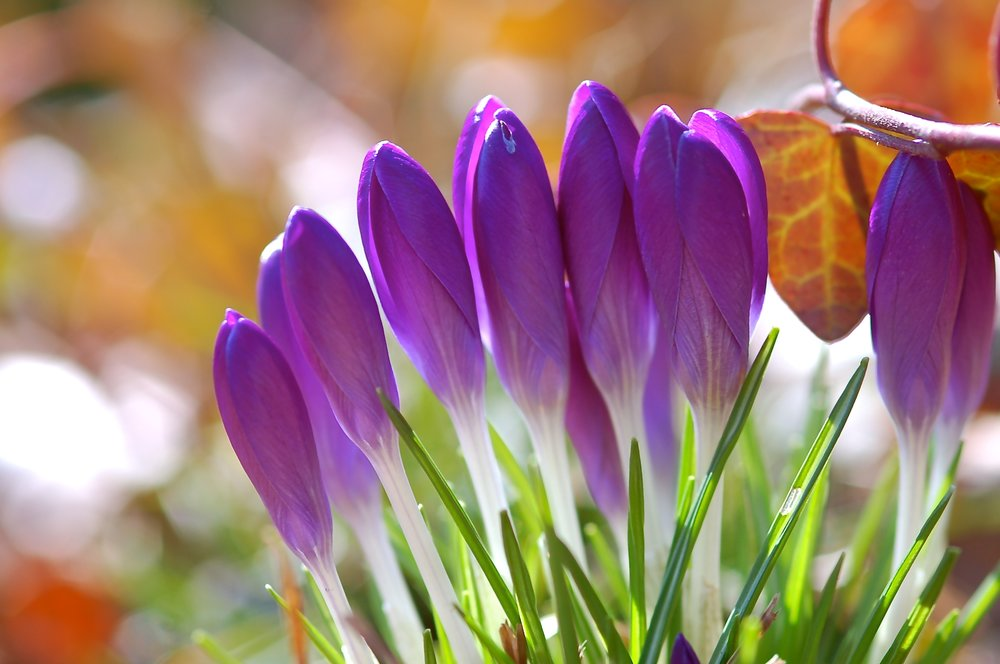 CHORUS OF CROCUS - PHOTO