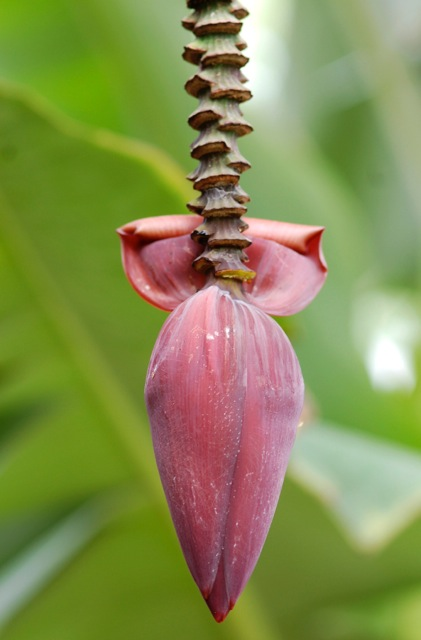BANANA TREE - PHOTO