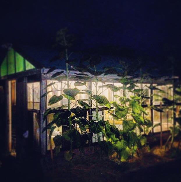 Sunflowers by the green house at night, planted by my mother (summer of 2015)