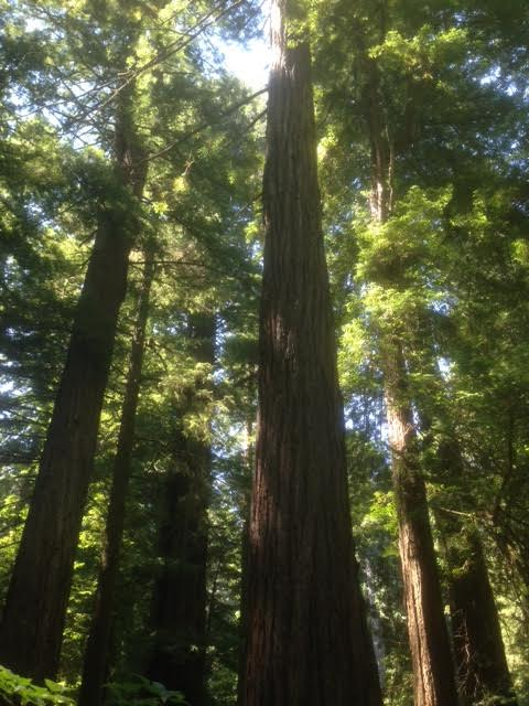 Oh but we did get to see the Redwoods. Absolutely gorgeous.