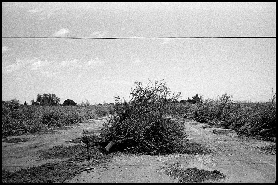 0315_18 Dead Fruit Trees, Merced CA