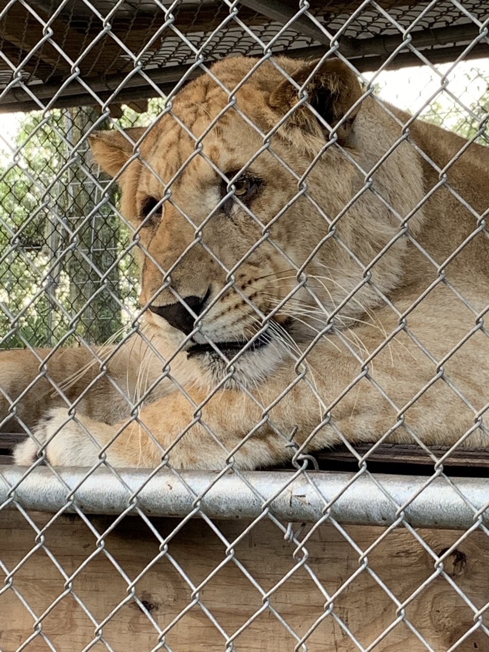 """Chimera the Liliger! What a loverboy! At not quite 2 years old, his energy was all about play and curiousity! Weighing in at almost 400 pounds he eats between 18 -20 lbs of meat a day! He's not done growing yet! He loved his pool and his toy tire! He would make up his own chase-game, with them. I believe his lessons were all about making time to play and not letting the """"walls we put up,"""" keep us from enjoying life! Not taking ourselves to serious and making time for play everyday. Letting go of anxiety and worry, make your own fun, create new adventures and new experiences even in the everyday little things. His Reiki energy was very happy, fun, and light! I loved his big ole' paws, too! #Liligerlessons #animalreikiteacher"""