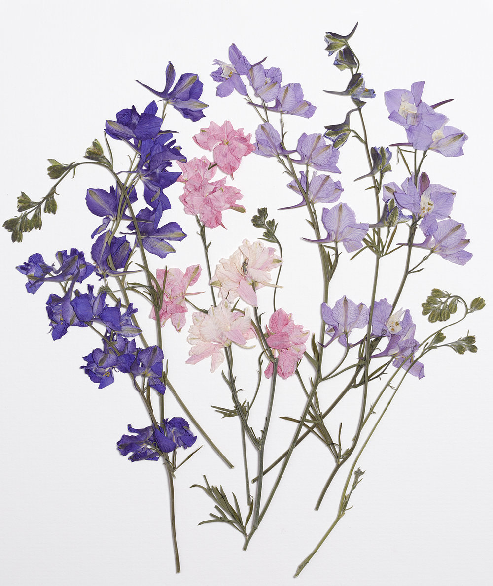 larkspur vermont botanical
