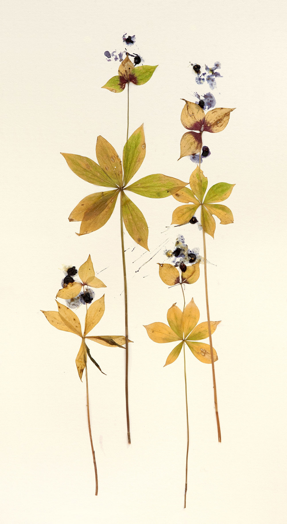 starflowers.jpg