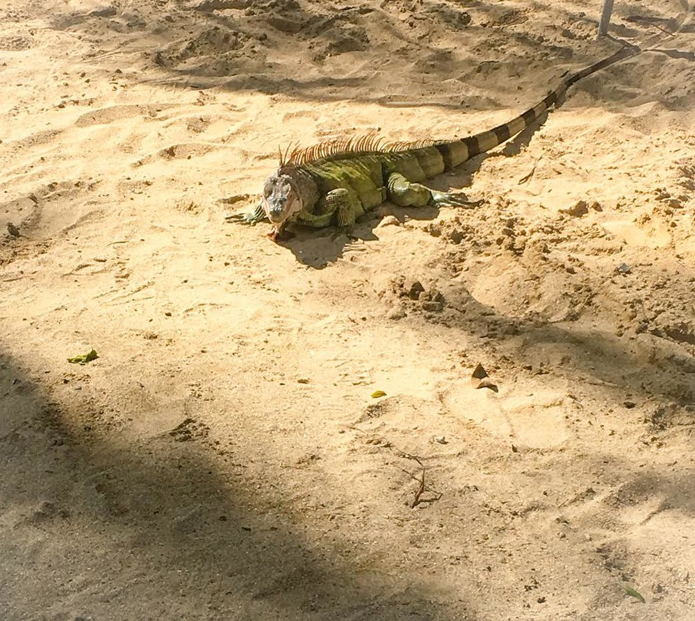 Lizards roam the beach of the Buccaneer Hotel. They love Lettuce and will come pretty close to you.